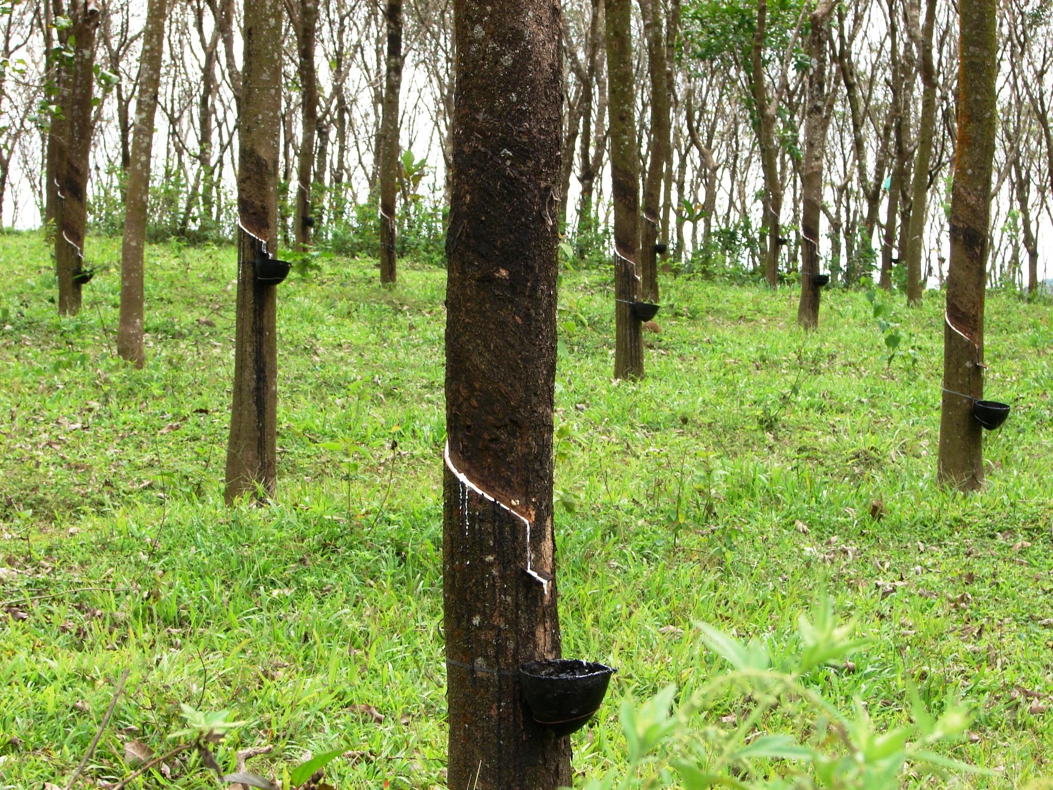 Rubber Tree Plantation, India