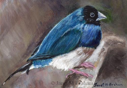 """Black Headed Gouldian Finch ACEO"" original fine art by Janet Graham"
