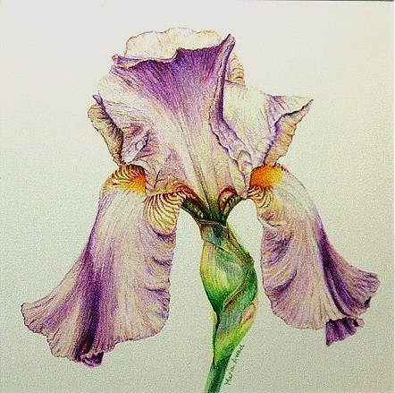 """""""Iris in Pink"""" original fine art by Maria Levandowski"""