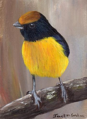 """""""Tawny Capped Euphonia ACEO"""" original fine art by Janet Graham"""