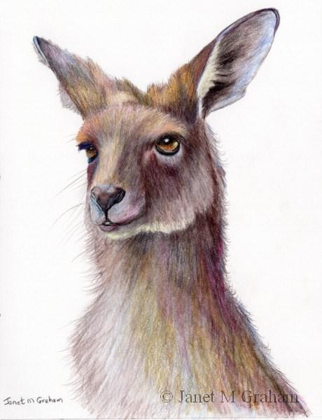 """""""Kangaroo"""" original fine art by Janet Graham"""