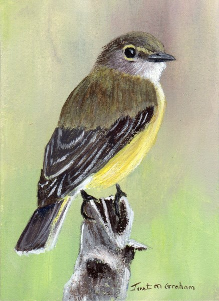 """Lemon Bellied Flycatcher ACEO"" original fine art by Janet Graham"