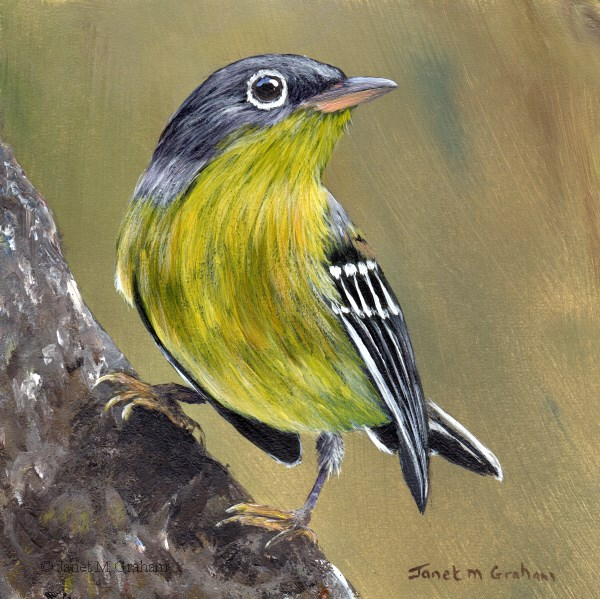 """Magnolia Warbler No 3"" original fine art by Janet Graham"