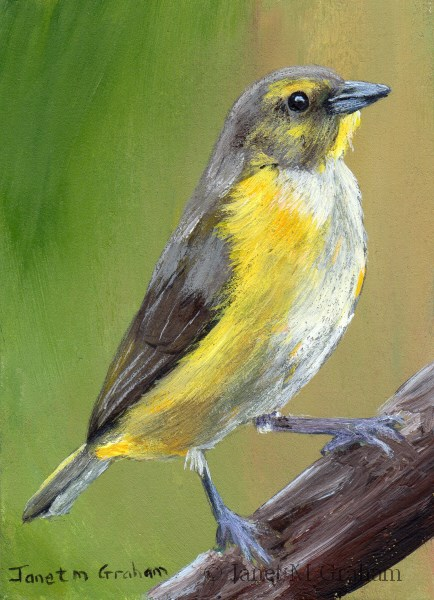 """Purple Throated Euphonia (Female) ACEO"" original fine art by Janet Graham"