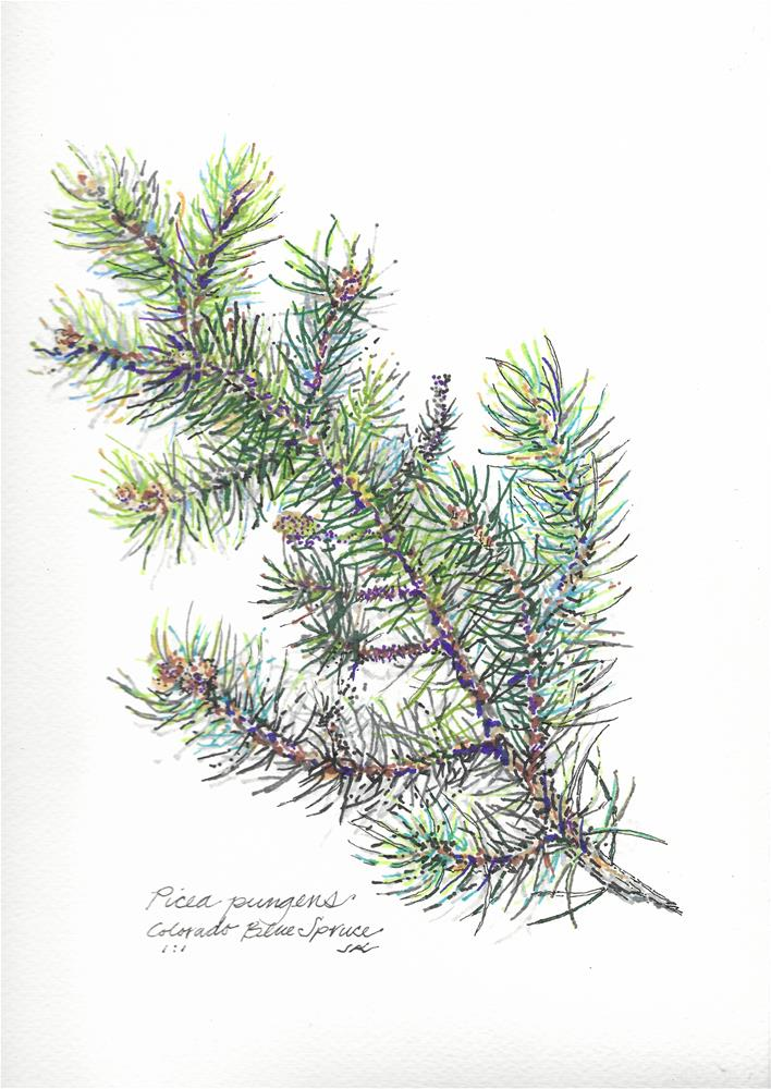 """Colorado Blue Spruce -  Pinus pungens"" original fine art by Jean Krueger"