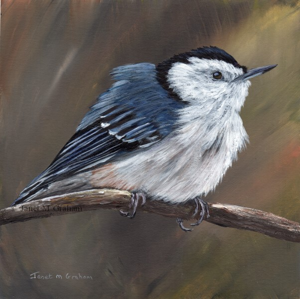 """White Breasted Nuthatch No 3"" original fine art by Janet Graham"