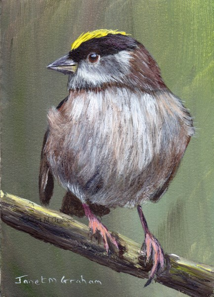 """""""Golden Crowned Sparrow ACEO"""" original fine art by Janet Graham"""