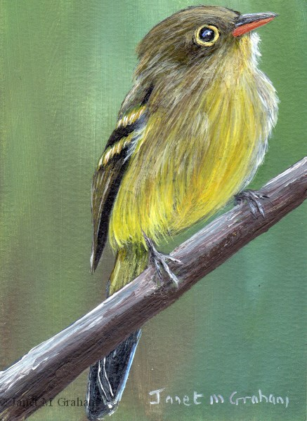 """Yellow Bellied Flycatcher ACEO"" original fine art by Janet Graham"
