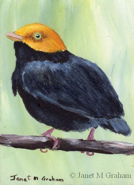 """Golden Headed Manakin ACEO"" original fine art by Janet Graham"