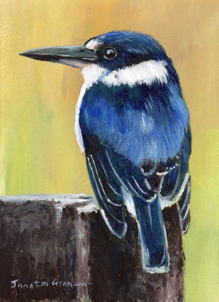 """""""Forest Kingfisher ACEO"""" original fine art by Janet Graham"""