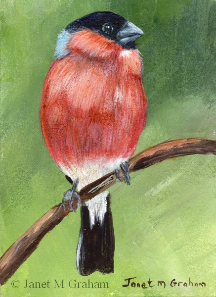 """Bullfinch ACEO"" original fine art by Janet Graham"