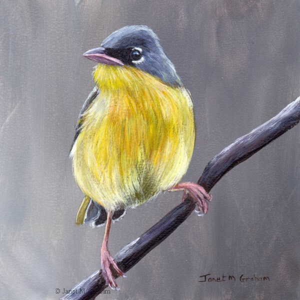 """Grey Crowned Yellowthroat"" original fine art by Janet Graham"
