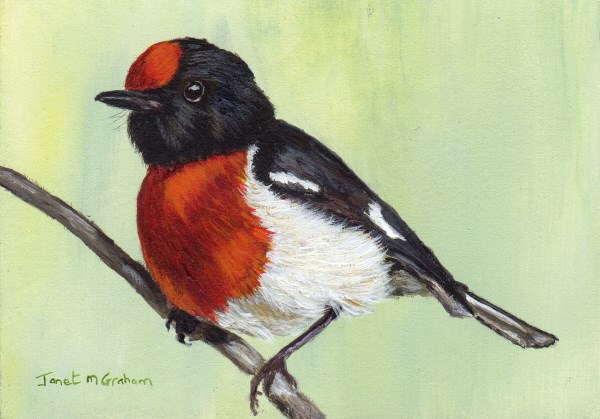 """""""Red-Capped Robin ACEO"""" original fine art by Janet Graham"""