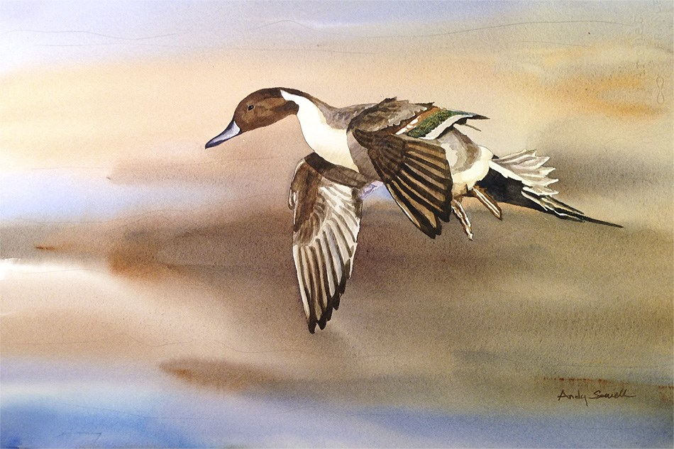 """""""D is for Duck (Pintail)"""" original fine art by Andy Sewell"""