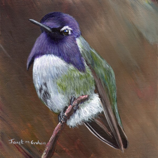 """Costa's Hummingbird"" original fine art by Janet Graham"