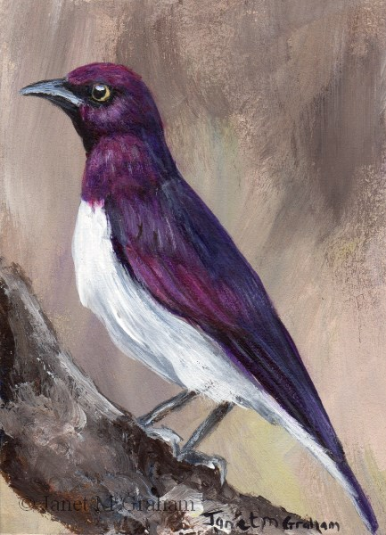 """""""Violet Backed Starling ACEO"""" original fine art by Janet Graham"""