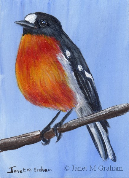 """""""Flame Robin ACEO"""" original fine art by Janet Graham"""
