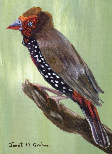 """""""Painted Firetail ACEO"""" original fine art by Janet Graham"""