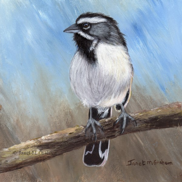 """Black Throated Sparrow"" original fine art by Janet Graham"