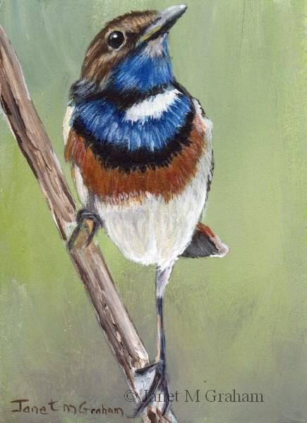 """Bluethroat ACEO"" original fine art by Janet Graham"