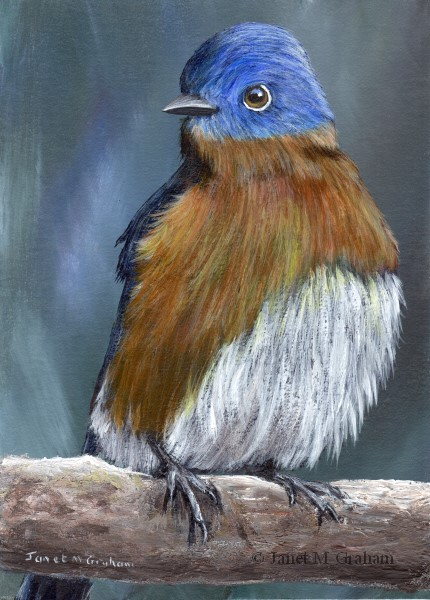 """Eastern Bluebird No 3"" original fine art by Janet Graham"