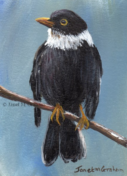"""White Collared Blackbird ACEO"" original fine art by Janet Graham"