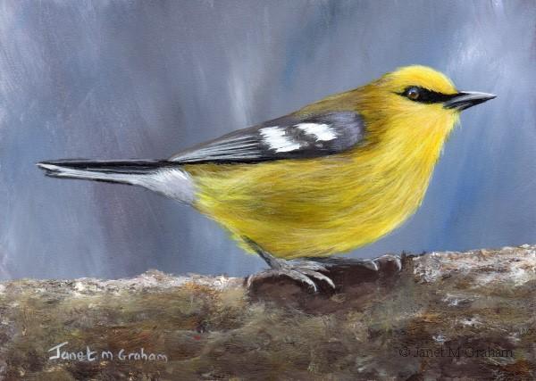 """""""Blue Winged Warbler"""" original fine art by Janet Graham"""
