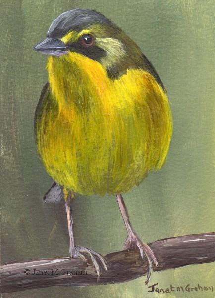 """Kentucky Warbler (Female) ACEO"" original fine art by Janet Graham"