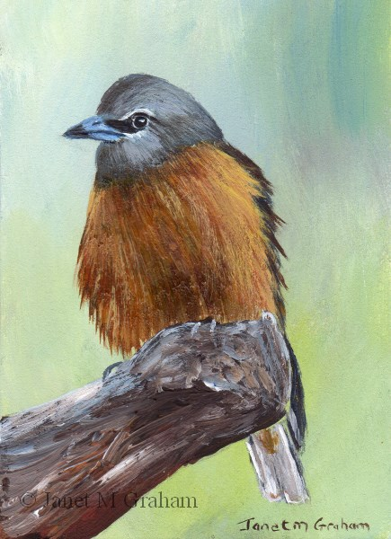 """""""White Browed Woodswallow ACEO"""" original fine art by Janet Graham"""