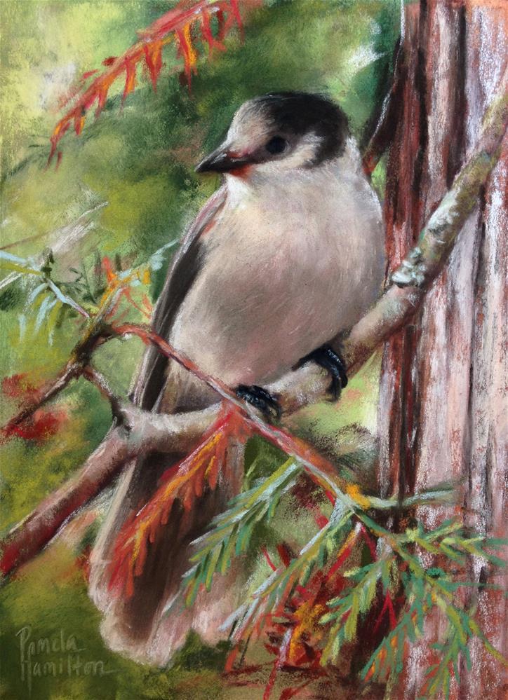 """Grey Jay"" original fine art by Pamela Hamilton"
