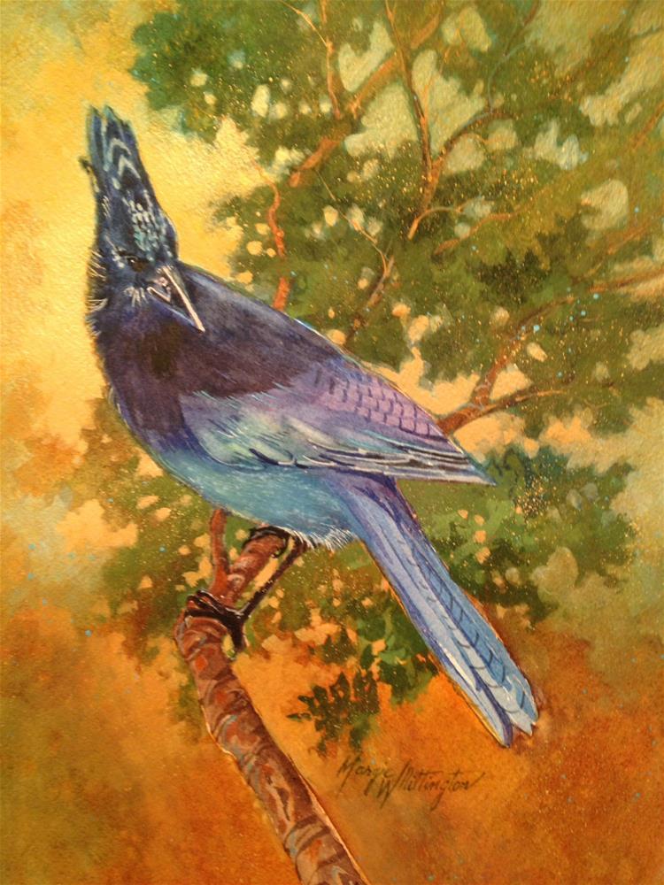 """Steller's Jay"" original fine art by Margie Whittington"