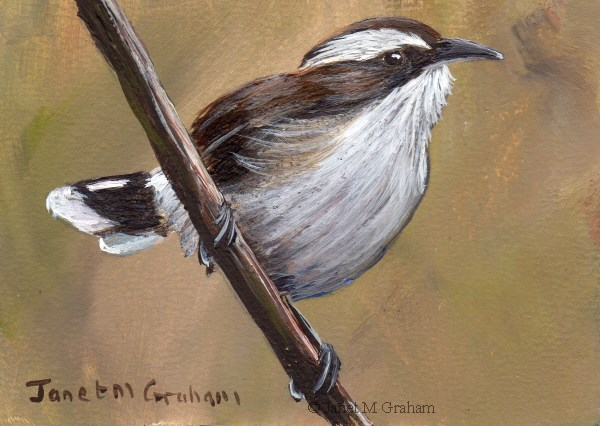 """""""White Browed Babbler ACEO"""" original fine art by Janet Graham"""