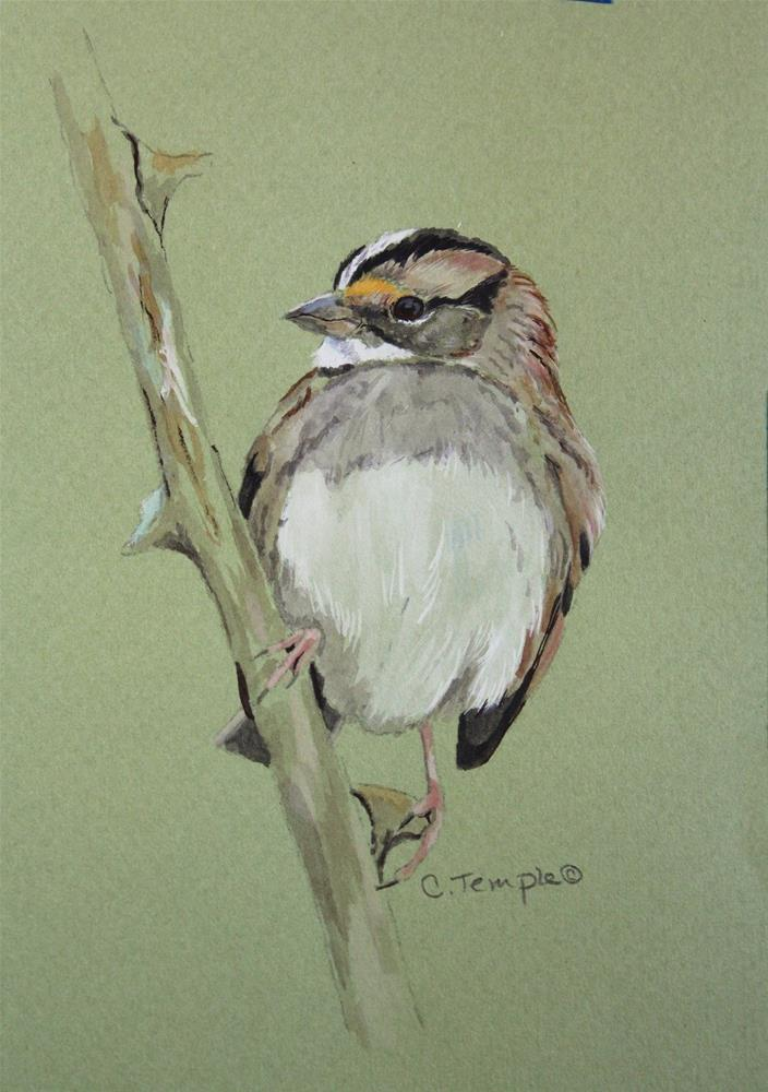 """""""White-throated Sparrow"""" original fine art by Catherine Temple"""