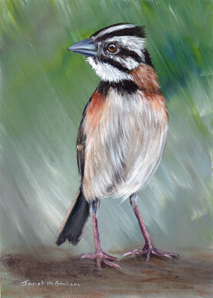 """Rufous Collared Sparrow"" original fine art by Janet Graham"