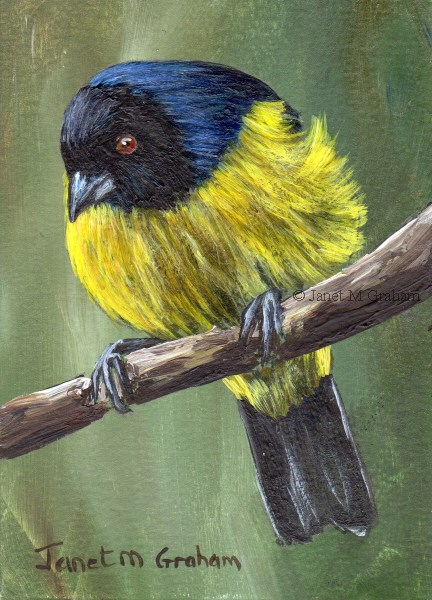 """""""Hooded Mountain Tanager ACEO"""" original fine art by Janet Graham"""