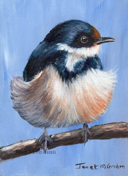 """White Throated Swallow ACEO"" original fine art by Janet Graham"