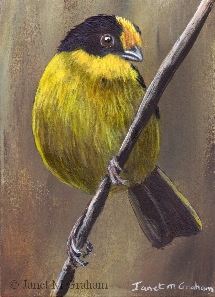 """""""Pale Naped Brush Finch ACEO"""" original fine art by Janet Graham"""