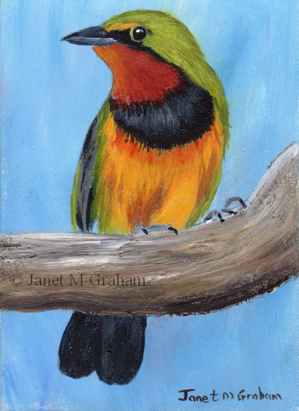 """Gorgeous Bushshrike ACEO"" original fine art by Janet Graham"