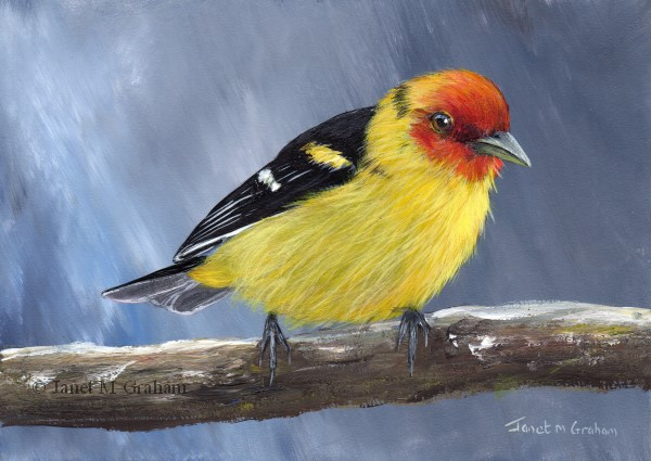 """Western Tanager No 5"" original fine art by Janet Graham"