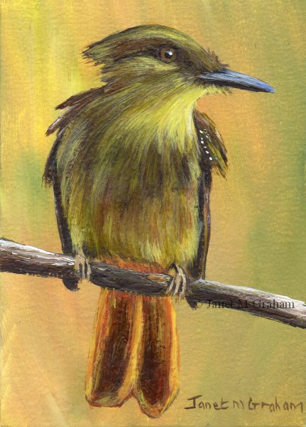 """Royal Flycatcher ACEO"" original fine art by Janet Graham"