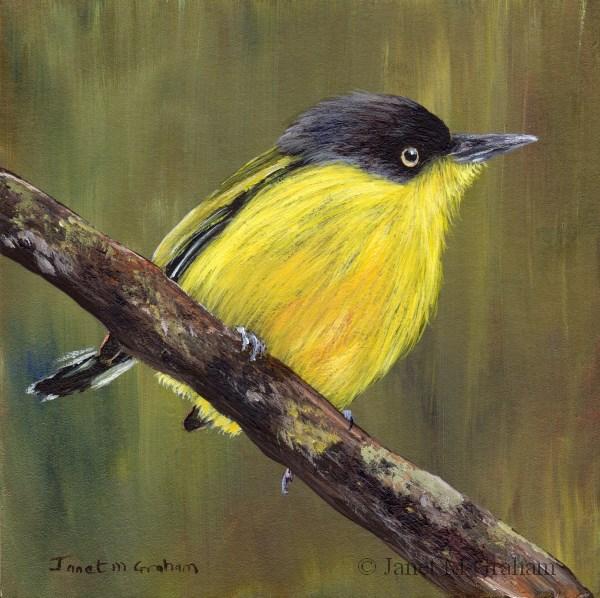 """Common Tody Flycatcher"" original fine art by Janet Graham"