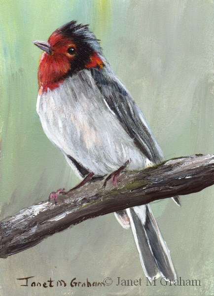 """Red Faced Warbler ACEO"" original fine art by Janet Graham"