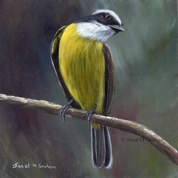 """Social Flycatcher"" original fine art by Janet Graham"