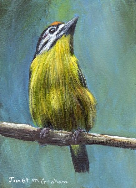 """""""Yellow Fronted Tinkerbird ACEO"""" original fine art by Janet Graham"""