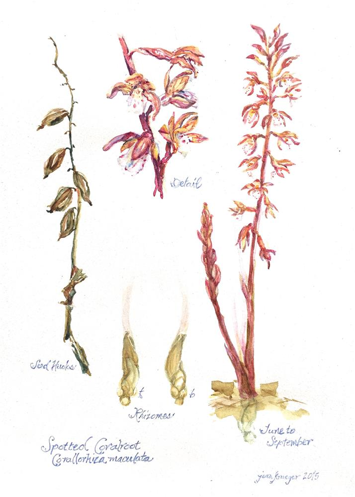 """Spotted Coralroot, Corallorhiza maculata"" original fine art by Jean Krueger"
