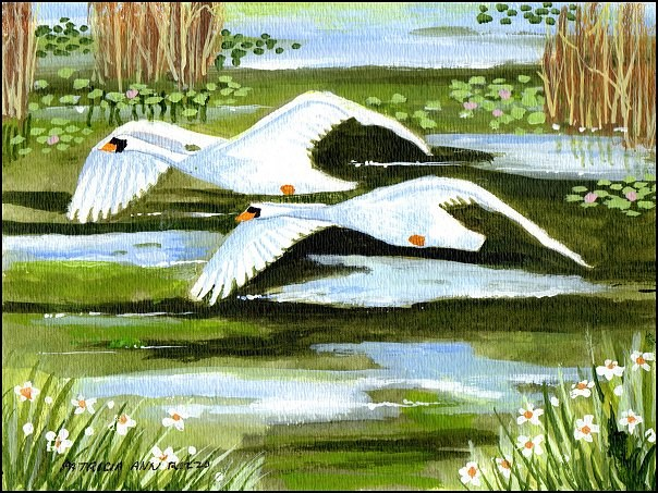 """Trumpeter Swans in Flight"" original fine art by Patricia Ann Rizzo"