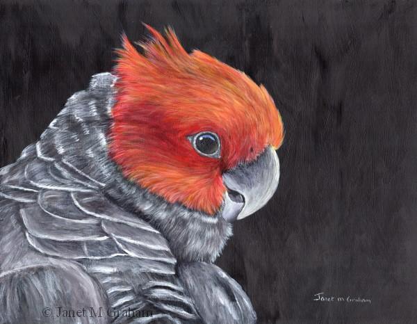 """Gang - Gang Cockatoo"" original fine art by Janet Graham"