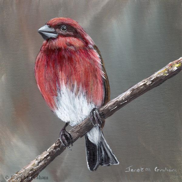 """Purple Finch"" original fine art by Janet Graham"