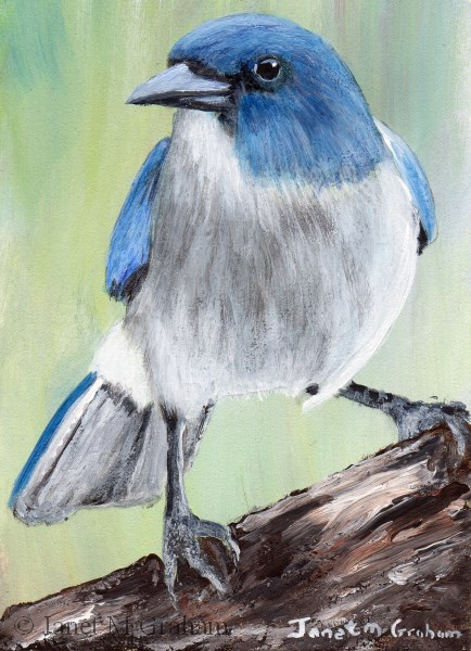 """""""Mexican Jay ACEO"""" original fine art by Janet Graham"""