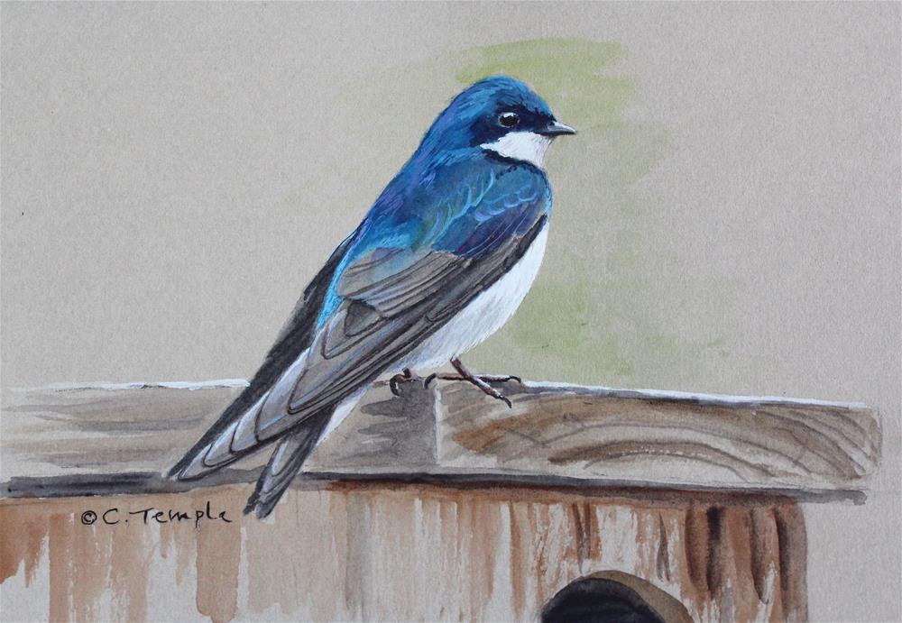 """Tree Swallow"" original fine art by Catherine Temple"